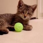 Oskar le chat aveugle et son premier jouet