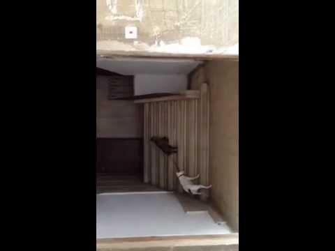 Un chat promène un chien en laisse