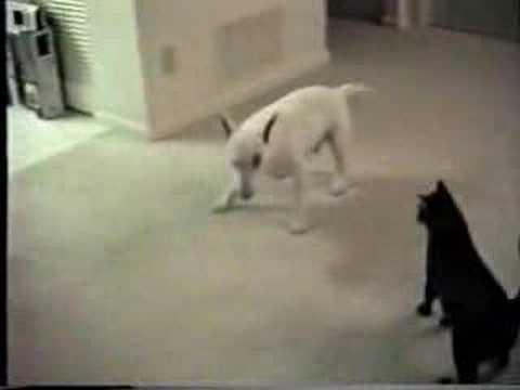 Un chat fou attaque un chien
