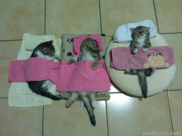 chatons dorment dans des couettes