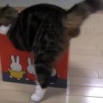 Maru le chat cherche à rentrer dans des boîtes trop petites