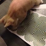Un chat expérimente une illusion d'optique