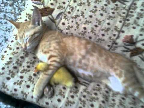 Un chat dort avec un canard dans les bras
