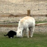 Un chat harcelle de caresses un lama