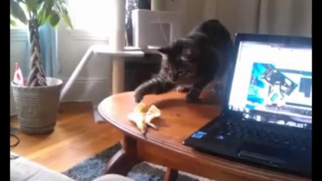 Un chat contre une peau de banane