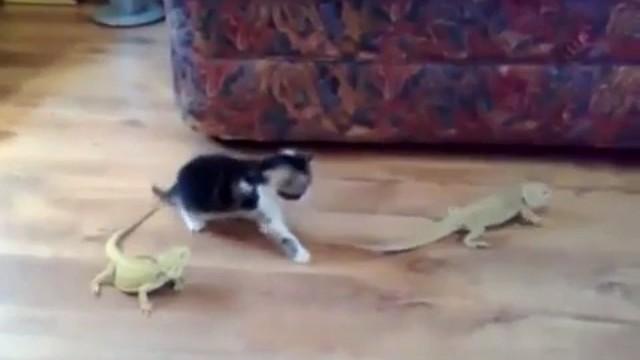 Un chaton se fait une belle peur devant un lézard