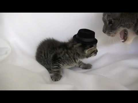 Un chaton avec un chapeau se prend une claque par maman chat !
