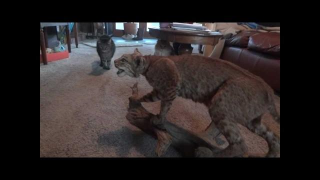 Des chats découvrent un lynx empaillé