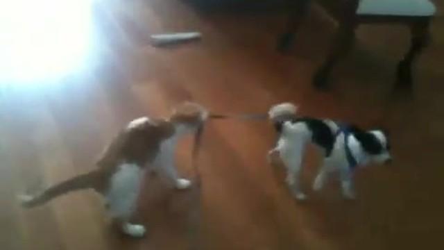 Un chat fait le boss et tire un chien par sa laisse