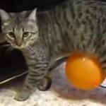 Un chat poursuivi par un ballon à cause de l'électricité statique