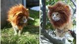 Un costume de Lion pour chat