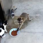 Un raton laveur vole les croquettes des chats !
