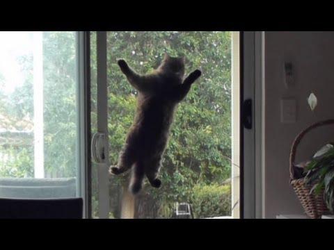 Un chat se cramponne à une vitre pour rentrer dans une maison