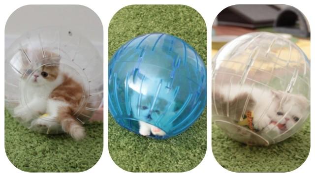 Trois adorables chatons jouent et roulent dans des boules à hamster