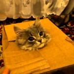 Un chat sort d'une boîte mais reste piégé !
