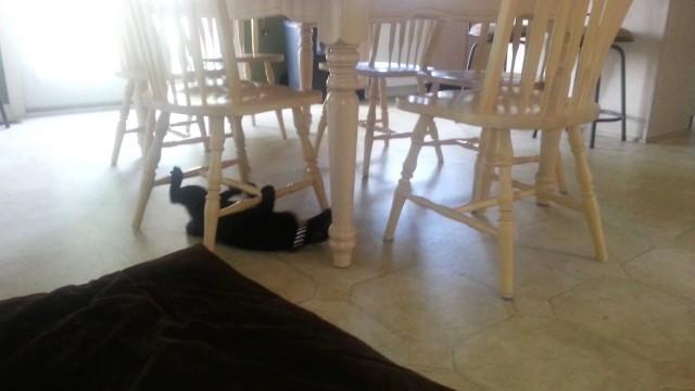 Un chat fou rampe sur le dos sous les chaises d'une table