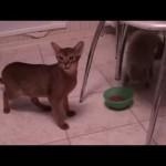Un chat affamé vole le bol de croquette d'un autre chat