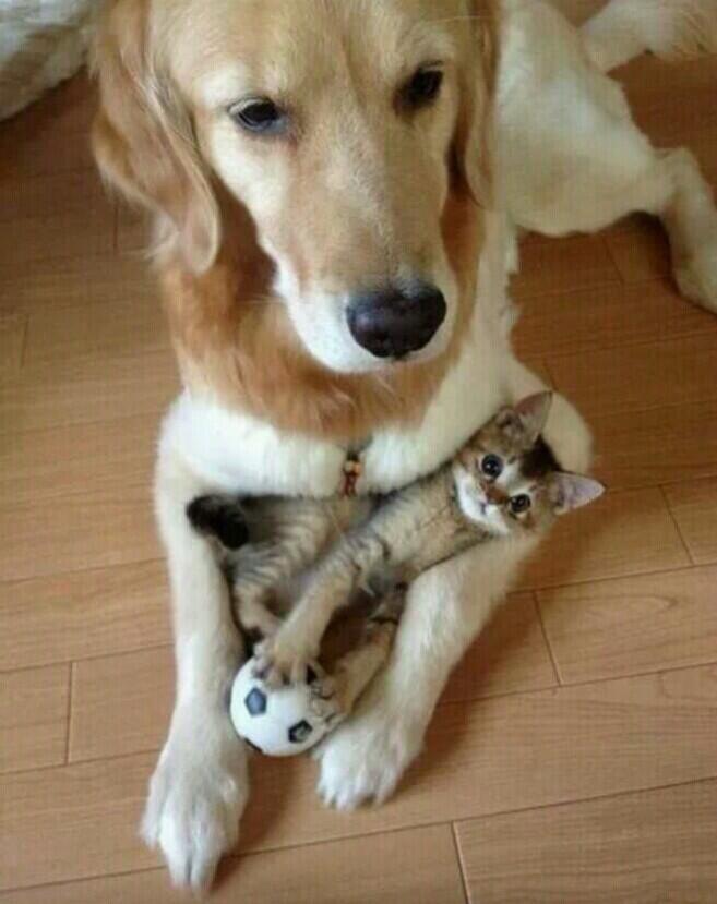 chaton avec une balle de foot et un chien labrador