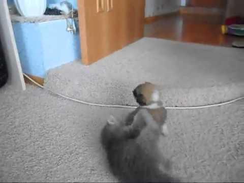 Un chaton et un chiot se battent ensemble !