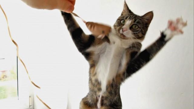 Le chat Nikita se bat contre un jouet souris