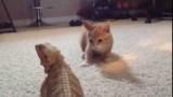 Un chaton joue avec un iguane