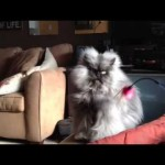 Colonel Meow, le nouveau chat star d'Internet !