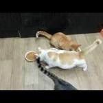 Un chat bloque un autre chat pour l'empêcher de manger dans sa gamelle !