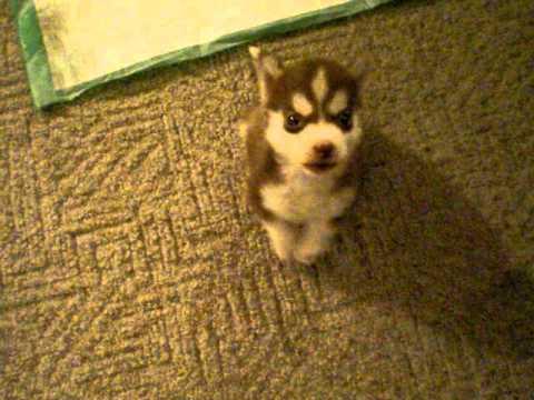 Un petit chien Husky aboie