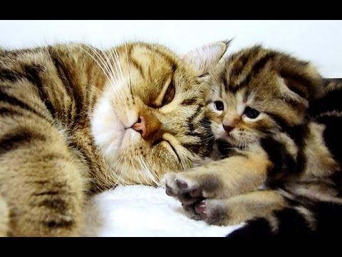 Un maman chat parle à ses chatons. Trop mignon
