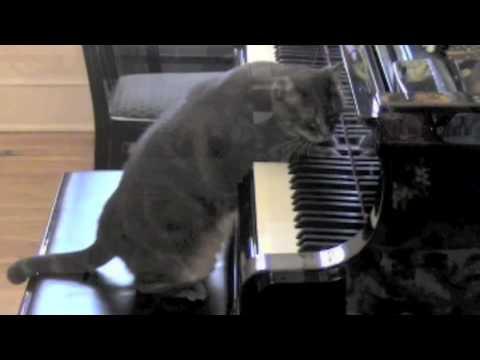 Un chat fait un concert de musique