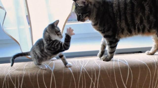 Un chaton se bat contre la queue d'un chat