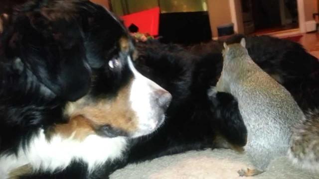 Un écureuil cache ses noisettes dans les poils d'un chien