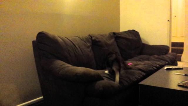 Clara le Chat poursuit un Laser et fait un Saut de Malade