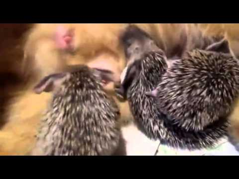 Un Chat adopte des Bébés Hérissons