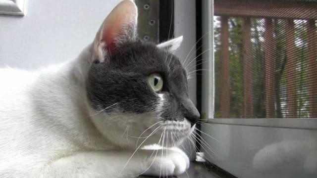 Un Chat observe les Oiseaux par la Fenêtre en faisant de Drôles de Bruits