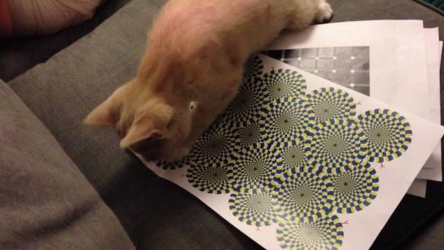 Un Chat se Fait avoir par une Illusion d'Optique !