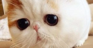 Snoopybabe, le chat mignon du web
