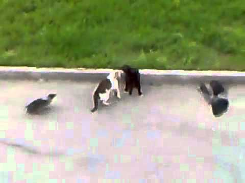 Combat de folie entre deux chats