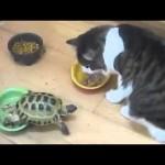 Une tortue attaque un chat