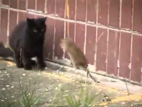 Des chats attaqués par des rats géants !