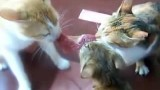 Trois chats se partagent un steak
