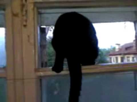 Un chat aboie comme un chien puis miaule à nouveau !