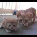Une maman chatte vient au secours de son petit chaton
