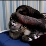 Un paresseux et un chat se font des calins