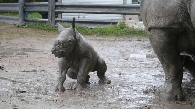 Un bébé rhinocéros apprend à marcher !
