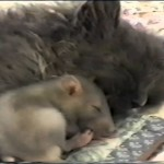 Un chat fait un calin à une souris