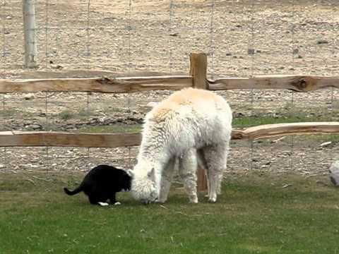 Un chat harcelle de caresses un lama