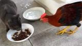 Une poule tente de voler les croquettes d'un chat