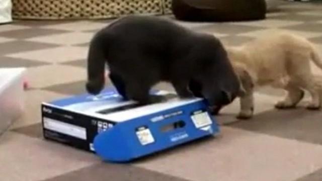 Un chat piège un autre chat dans une boîte !