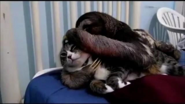 Un paresseux fait des calins à un chat